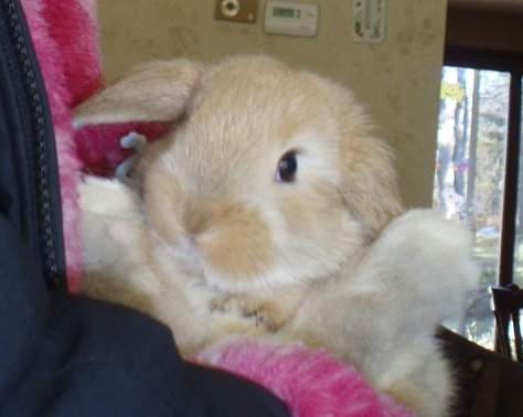 Fawn - Doe - Holland Lop