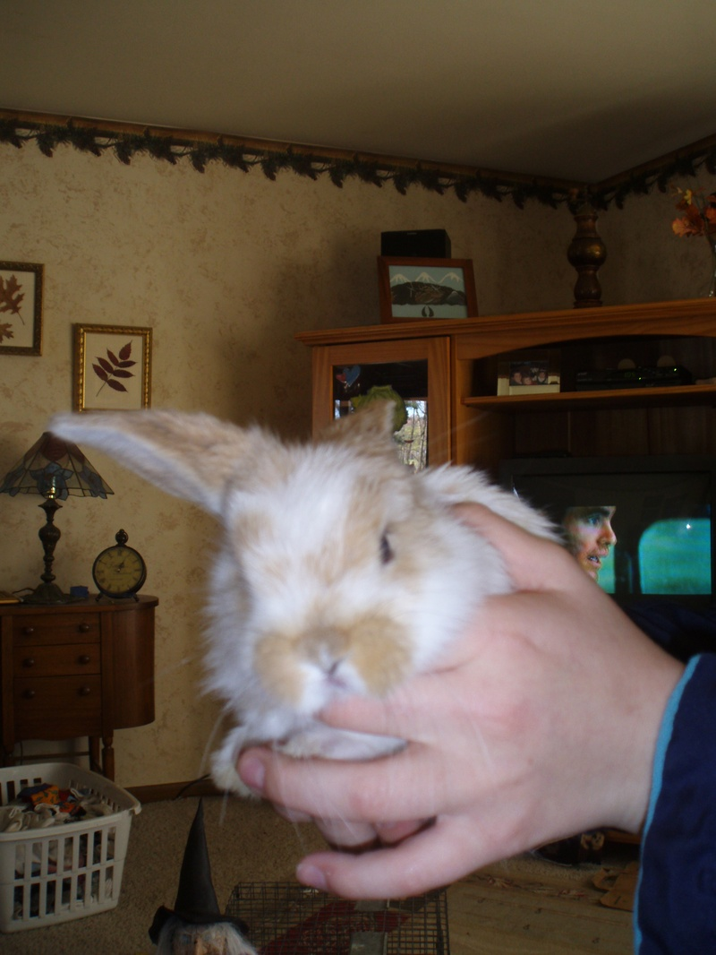 Broken Fawn - Buck - Holland Lop