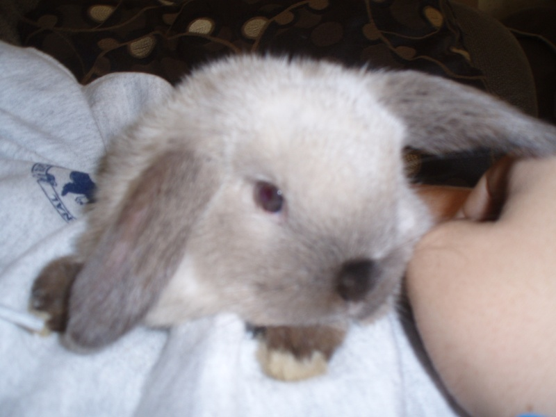 Sable Point - Doe - Holland Lop